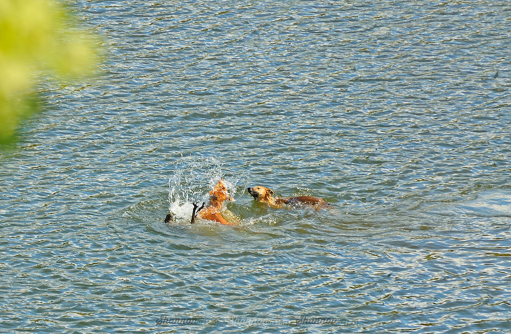 Dingos (Canis lupus dingo) attack an Eastern Grey Kangaroo (Macropus giganteus) they chased into a river in the remote Southern Greater Blue Mountains world heritage area.