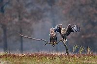 Zwei Seeadler auf einem Baumstamm