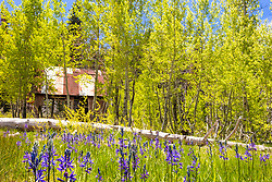 """""""Camas at the Shack"""" - Photograph of camas wildflowers and aspen in the spring time. Shot at """"The Shack"""" near the top of Hwy 267, in between Truckee and Lake Tahoe."""