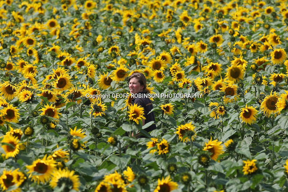 "PIC SHOWS LUCY WATTS CHECKING HER CROP OF SUNFLOWERS AT BRITAINS BIGGEST SUNFLOWER FARM NEAR SPALDING,LINCS,ON WEDNESDAY 3 AUGUST 2011... It looks like a scene from the south of France but the sunny summer weather has helped this spectacular crop of sunflowers flourish in the heart of the UK...The dry weather over the past few weeks has been perfect for the 160 acres of plants at Britain~s largest grower of sunflowers in Spalding, Lincolnshire...But sadly these sunflowers will not be picked, instead every single one will be fed to the birds...""This week has really helped the sunflowers to flourish, they need as much sun as possible,"" said Lucy Watts, 33, manager of bird food at the 2,000 acre family-run Vine House Farm...""They had a difficult start as we had a dry spring and they need a moist seed bed when they are planted...""But they are doing really well and if the sun continues to shine for the rest of August it would be perfect for them.."