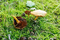 Peperboleet, Chalciporus piperatus