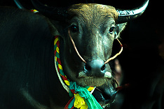 Buffalo Races, Chonburi, Thailand