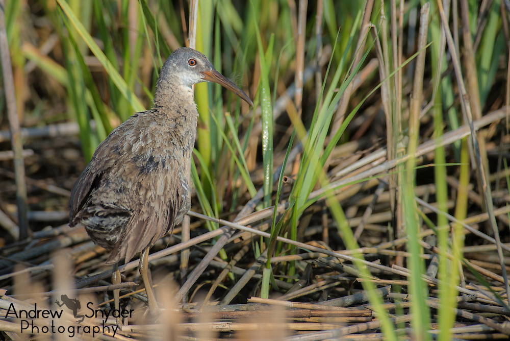 Clapper rail (Rallus crepitans) - Ocean City, Maryland.