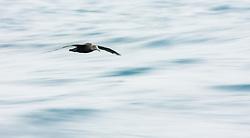 Northern Giant Petrel (Macronectes halli) in sub-Antarctic Ocean