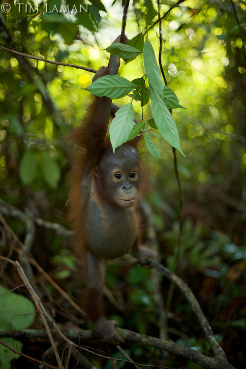 A juvenile orangutan at IAR exploring a patch of forest where it is learning skills for the wild <br />