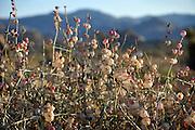 Scrub Bush Flower Pods Detail, Joshua Tree National Park