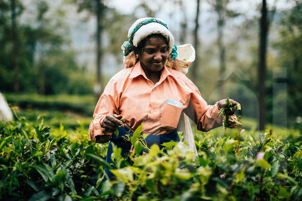Ella, Sri Lanka -- February 2, 2018: Women pick leaves at a tea plantation in the hills of central Sri Lanka.