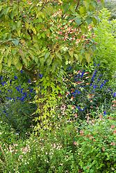 Ipomoea lobata syn. Mina lobata trained up a tree with Salvia patens 'Guanajuato' and Salvia greggi 'Sierra San Antonio'