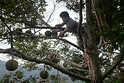 Tan Chee Keat climbs a tree to tie a Musang King durian fruit on his farm owned by his father, Tan Eow Chong and his family in Balik Pulau, Pulau Pinang, Malaysia on June 17th, 2019. Tan Eow Chong is an award-winning durian farmer famed for his Musang King variety, and last year exported 1000 tons of the fruit to China from his family-run durian empire, expanding from an 80 acre farm to 1000 acres.  Photo by Suzanne Lee/PANOS for Los Angeles Times