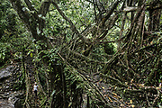 Double decker Living root bridge in Cheerapunji, the main touristic attraction in Meghalaya.<br />