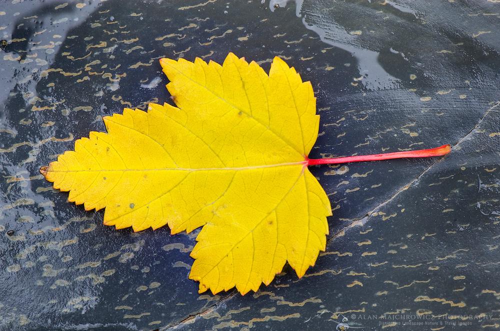 Yellow Maple leaf on sedimentary rocks of Glacier National Park Montana USA