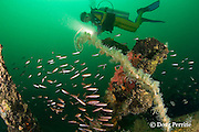 diver observes colonial anemones, Nemanthus or Amphianthus sp. on the wreck of the Seian Maru, a Japanese cargo vessel sunk by Allied air strike on Nov. 19, 1944; the wreck lies on its port side at a depth of 25 m near Alava Pier in Olongapo Harbor, Subic Bay, Philippines; MR 379