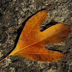 Rye, NH.Sassafras, Sassafras albbidum, leaf in fall..