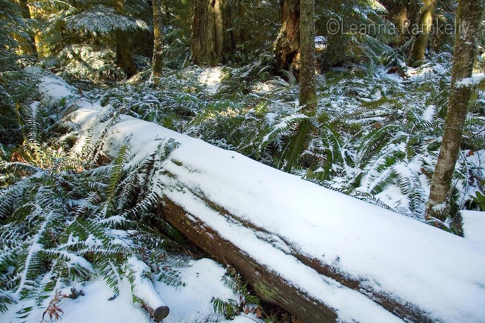 Snow falls in Cathedral Grove, near Port Alberni, Vancouver Island, BC Canada
