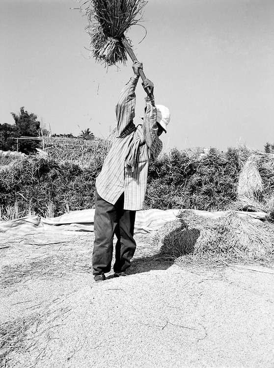 Threshing rice in the fields