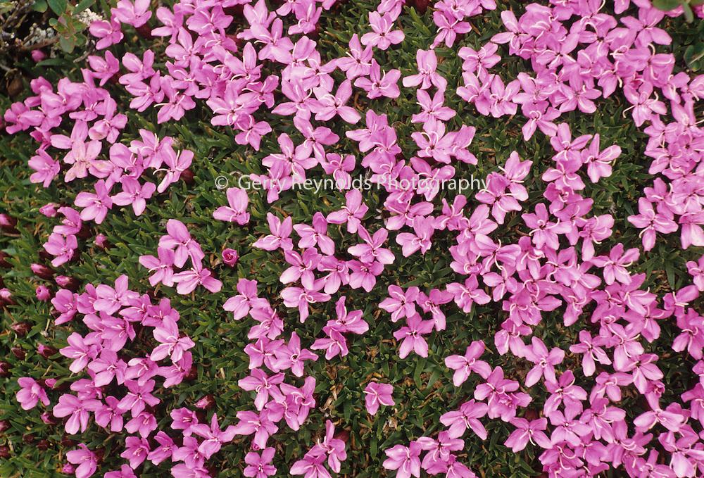 Moss Campion, Tundra, Wildflowers, Red flower, purple flower, Denali National Park, Alaska