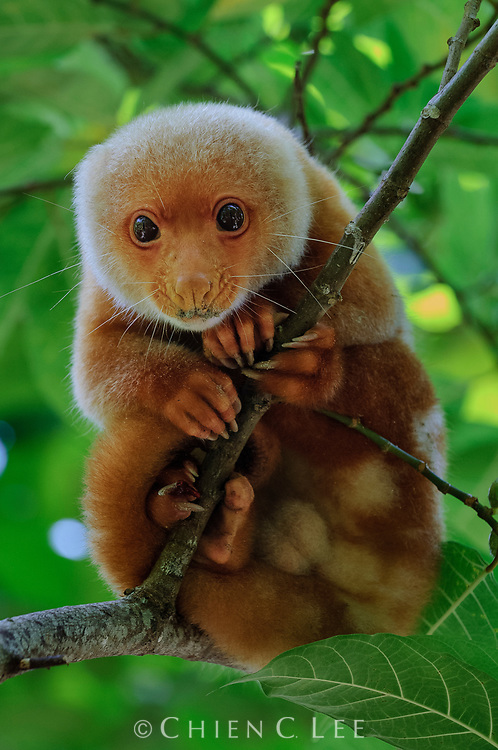 The Spotted Cuscus (Spilocuscus maculatus chrysorrhous) is a widespread arboreal marsupial occurring in the lowland rainforests of New Guinea and northern Australia. It is solitary and nocturnal, feeding primarily on leaves and fruits. Papua, Indonesia.