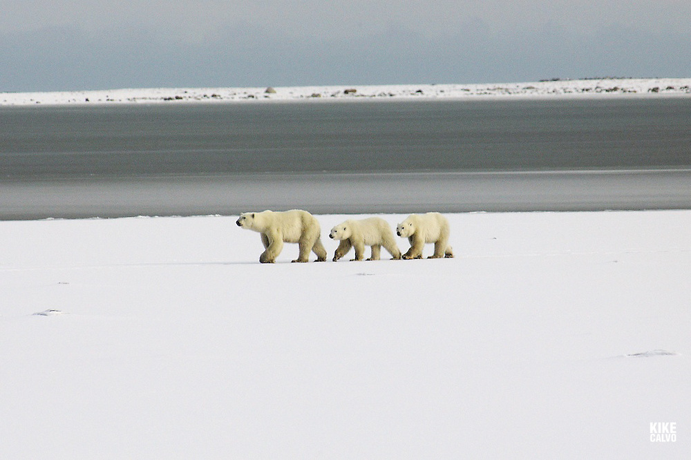 WWF says polar bears (Ursus maritimus) are set to become one of the most notable casualties of global warming unless drastic action is taken. The impact of climate change is increasingly felt in polar regions, where summer sea ice is expected to decrease by 50?00 per cent over the next 50?00 years. Polar bears are predicted to suffer more than a 30 per cent population decline in the next 45 years. Mother followed by her cubs.
