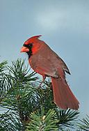 Northern Cardinal, Cardinalis cardinalis, male, perched on Pine.