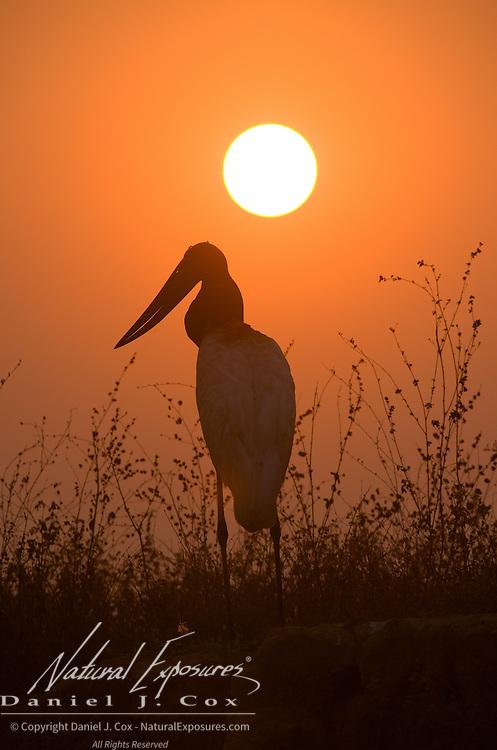 Jabiru stork (Jabiru mycteria) in the sunset on the bank of the Cuiaba River, Pantanal, Brazil.