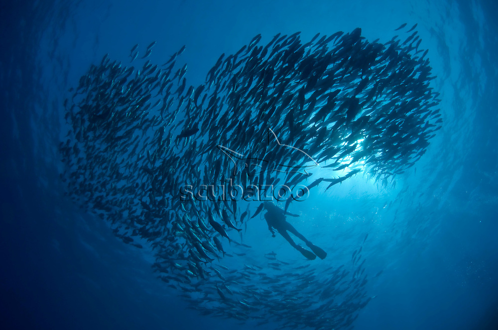 Silhouette of a diver and school of Bigeye Trevallies, Caranx sexfasciatus, in the blue, profile, Vaavu Atoll, The Maldives