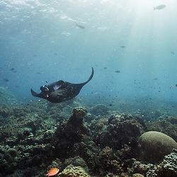 Manta ray dancing over the coral reef in the morning sun.