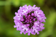 Pyramid Orchid, Anacamptis pyramidalis, Lullingstone Country Park, Kent UK, view looking down on the flower from above