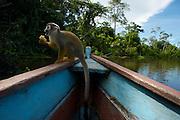 Monkey boards a canoe at Lake Marasha - Amazonas - Peru