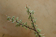Species of acacia medicinal plant sample 4