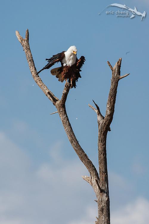 An African fish eagle (Haliaeetus vocifer), Lake Manyara, Tanzania