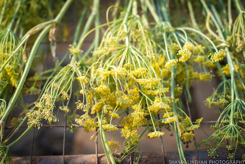 Detail shot of dill.