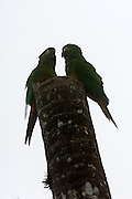 Cerro Tapichalaca Reserve - Monday, Jan 07 2008: Two Golden-plumed Parakeets (Leptosittaca branickii) perch on top of a tree in the Cerro Tapichalaca Reserve near Podocarpus National Park. (Photo by Peter Horrell / http://www.peterhorrell.com)