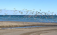 Seabirds, sea birds, beach, Mediterranean, Mediterraneo, Estepona, Malaga, Andalucia, Andalusia, Spain, Espana, Costa del Sol, tourism, travel, holidays, 201302201138..Copyright Image from Victor Patterson, 54 Dorchester Park, Belfast, UK, BT9 6RJ..Tel: +44 28 9066 1296.Mob: +44 7802 353836.Voicemail +44 20 8816 7153.Skype: victorpattersonbelfast.Email: victorpatterson@me.com.Email: victorpatterson@ireland.com (back-up)..IMPORTANT: If you wish to use this image or any other of my images please go to www.victorpatterson.com and click on the Terms & Conditions. Then contact me by email or phone with the reference number(s) of the image(s) concerned.
