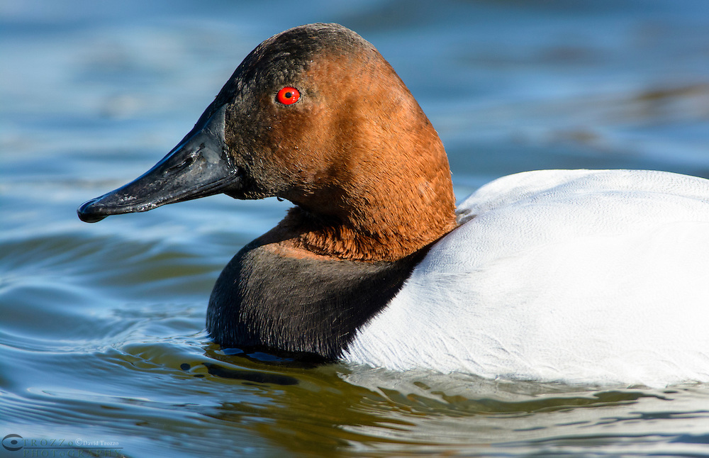 Canvasback duck, Aythya valisineria, among other species, swims on the Chesapeake Bay, Cambridge, Maryland, USA.