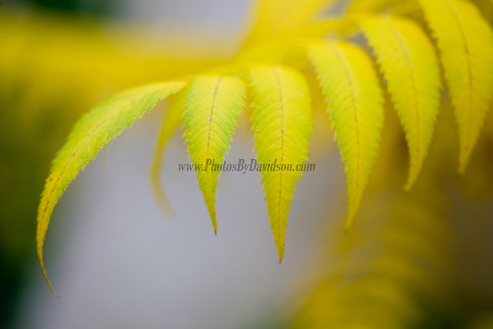A golden leaf waves goodbye to a wonderful summer.