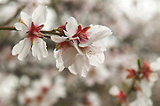 Almond plantation, close up of an almond blossoms Photographed in Israel