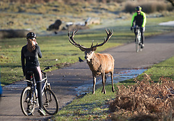 © Licensed to London News Pictures. 28/12/2017. London, UK. A stag deer looks at a cyclist in Richmond Park. Tonight is predicted to be the coldest night of the year with temperatures as low as minus 15 °C in some parts of the UK. Photo credit: Peter Macdiarmid/LNP