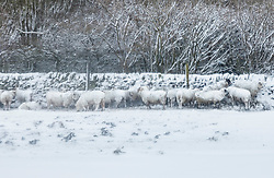 © London News Pictures. 23/03/2013 . Sheep sheltering from blizzards in Hadfield, Derbyshire. The UK has been hit by heavy snow and flood alerts. Photo credit: Duncan Fawkes/LNP