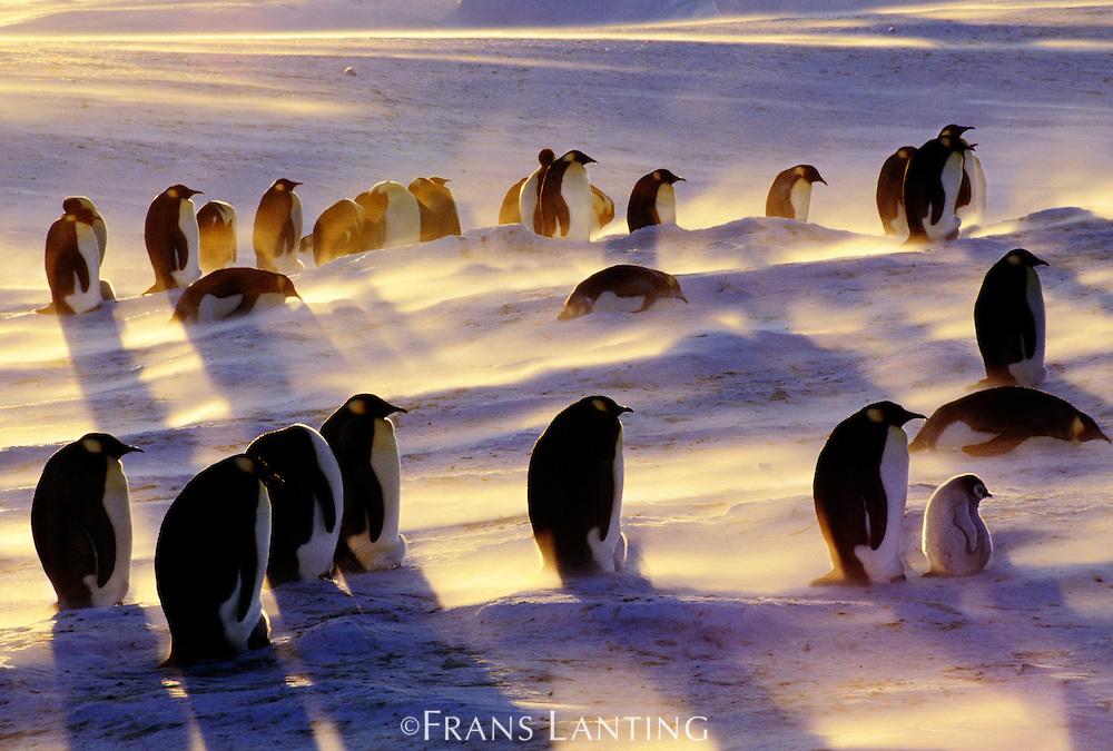 Emperor penguins in blizzard, Aptenodytes forsteri, Antarctica