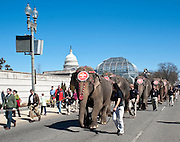 Mar 16,2010 - Washington, District of Columbia USA - .The arrival of the Barnum and Bailey Circus in the Nation's Capital was marked by the march of the elephants through the city and in front of the U.S. Capitol on Tuesday. The circus is in Washington, D.C., March 18 - 21, at the Verizon Center and March 31-April 4 at the Patriot Center in Fairfax, Virginia...(Credit Image: © Pete Marovich/ZUMA Press)