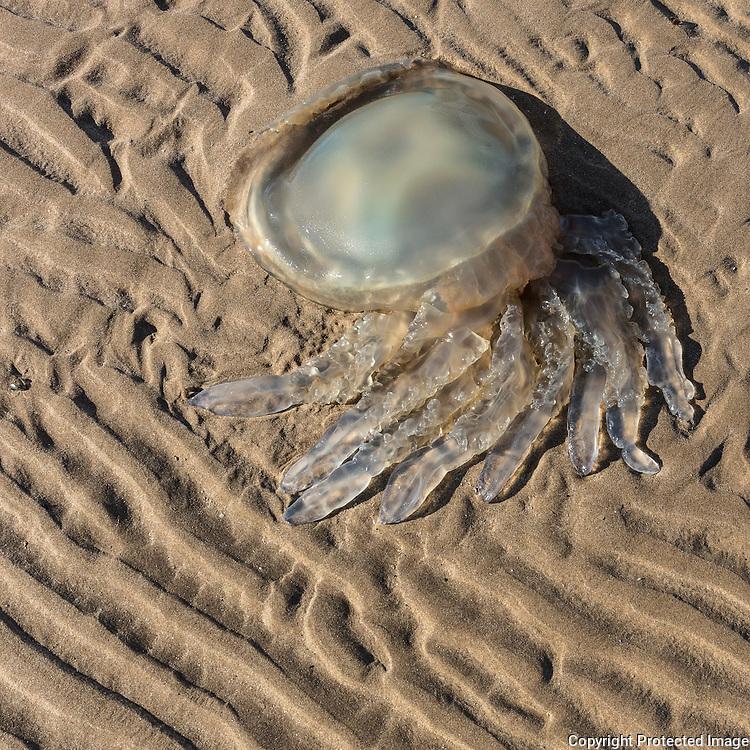 Barrel jellyfish, Whiteford Sands, Gower, Glamorgan.