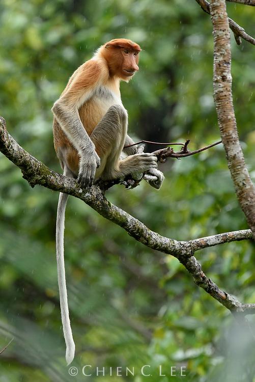 Proboscis Monkey (Nasalis larvatus), subadult male.