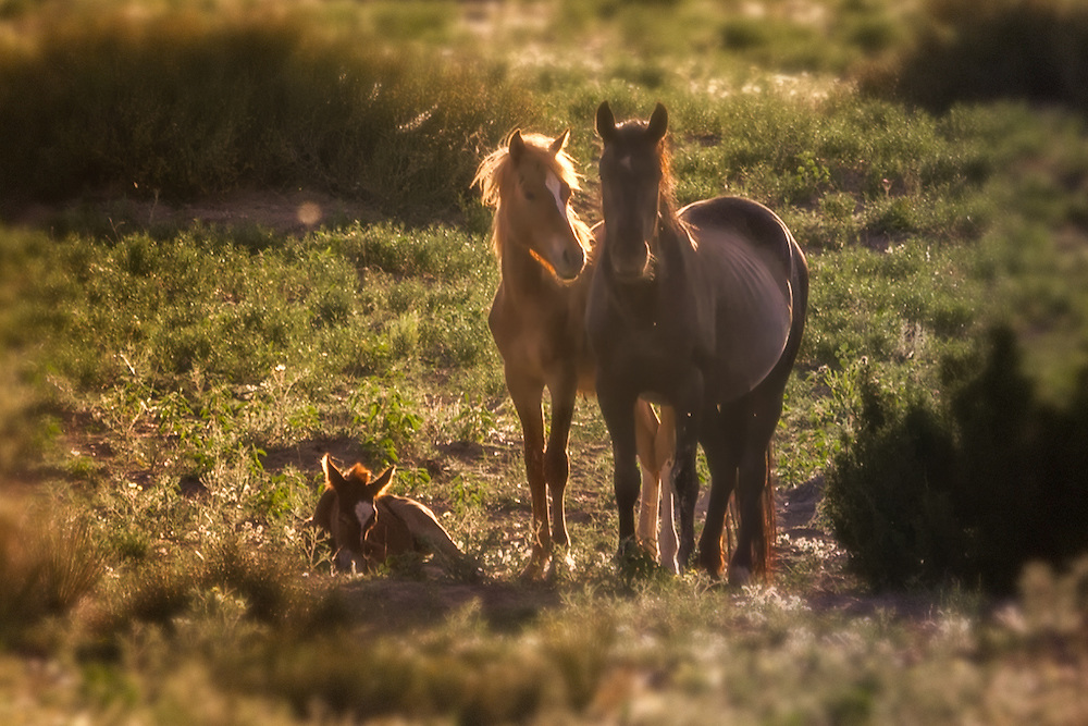 Protective mare and stallion parents with young foal in the spring, Sandoval County, New Mexico