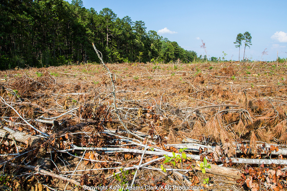 Recently clear cut field in Angelina National Forest, east Texas.