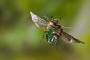 An euphoria beetle (euphoria fulgida) photographed with a high-speed camera. Central Texas.