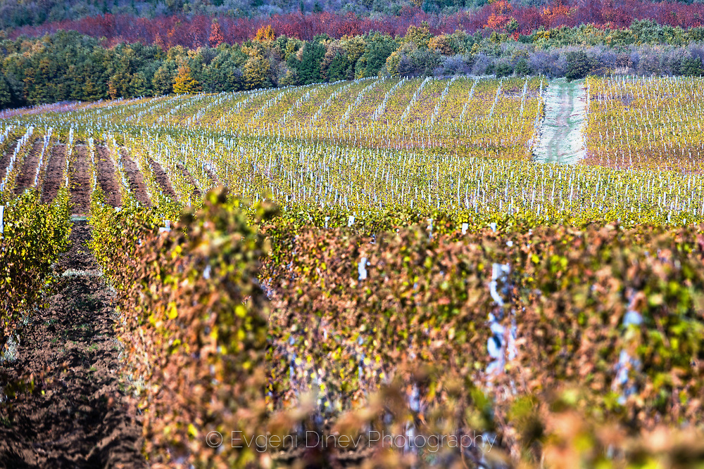 Large vineyard massif in sunny autumn time