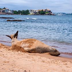 Elefante-marinho-do-sul (Mirounga leonina) fotografado em Vitóia, Espírito Santo - Sudeste do Brasil. Bioma Mata Atlântica. Registro feito em 2013. <br /> <br /> ENGLISH: Southern elephant seal photographed in Vitória, Espírito Santo - Southeast of Brazil. Atlantic Forest Biome. Picture made in 2013