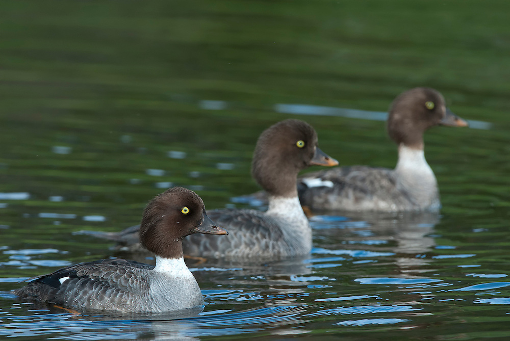 Common Goldeneye hens swim in formation, Yellowstone National Park, Wyoming