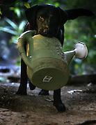 Bella, a labrador retriever, plays in the garden.