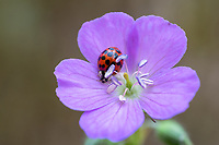 A red lady bug crawls on a wild Geranium in the White Oak Sinks area of Great Smoky Mountains National Park.